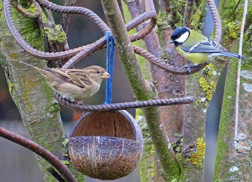 2018-11-21 Lüchow, Garten, Vögel, weiblicher Haussperling (Passer domesticus) + Kohlmeise (Parus major) an Kokosschale